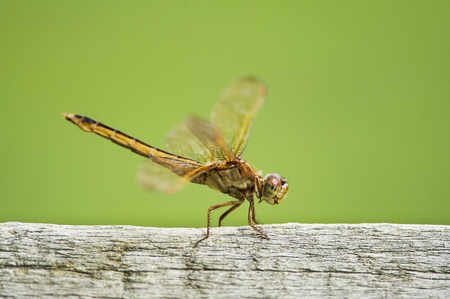 fence post: A green and yellow dragonfly perches on a wooden fence post Stock Photo