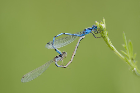 A pair of blue Damselflies mate on a small green plant with a smooth green background.