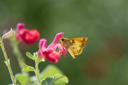 A small orange butterfly feeds on a bright pink flower on a bright sunny day.