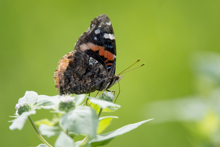 admiral: A small Red Admiral black and orange butterfly perched on some flowers with a bright green background. Stock Photo