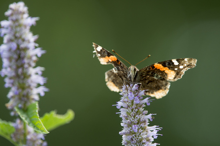 A small black and orange butterfly feeding on purple flowers with a bright green background.