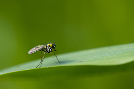 legged: A Long Legged Fly stands on a large blade of grass with a bright green background. Stock Photo