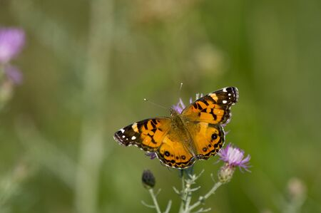 green butterfly: A black and orange butterfly perched on purple flowers with a green background on a sunny day.