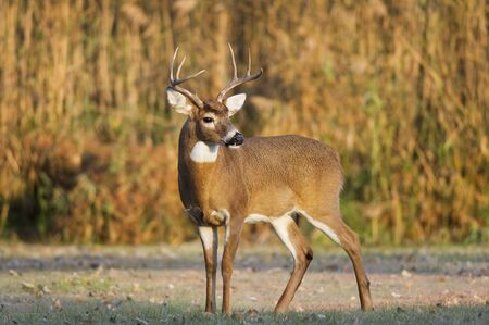 venado cola blanca: A whitetail deer buck stands in the early morning sun in an open field.