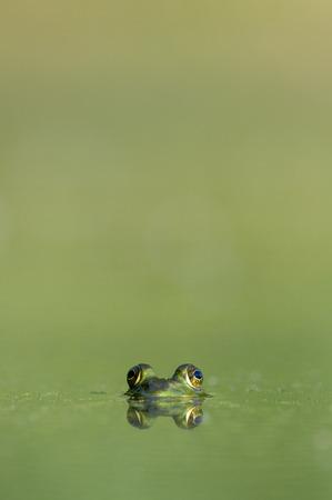 peer to peer: ojos de rana se asoman sobre la superficie de un pequeño estanque verde en un día de verano.