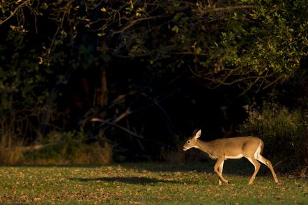 venado cola blanca: Un ciervo de cola blanca camina a través de un campo abierto en el sol de la mañana. Foto de archivo