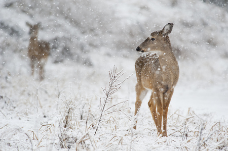 venado cola blanca: Un venado cola blanca se yergue en la nieve que cae.