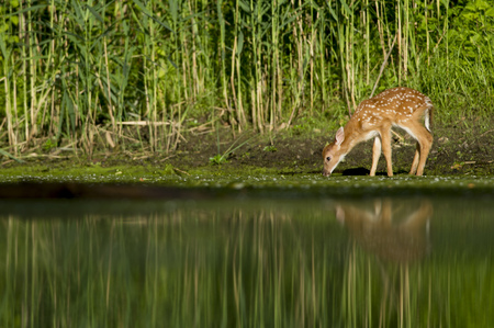 venado cola blanca: A young whitetail deer fawn gets a drink at the edge of a pond on a summer morning. Foto de archivo