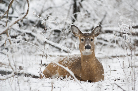 venado cola blanca: A Whitetail Deer doe lays in the snow in the forest.