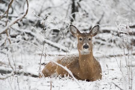 venado cola blanca: Una cierva venado de cola blanca pone en la nieve en el bosque. Foto de archivo