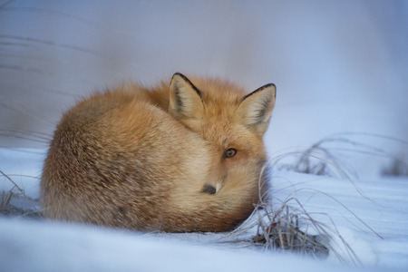 A Red Fox curled up at dusk to sleep for the evening in a cold winter snow.