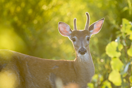 venado cola blanca: A young whitetail deer buck was being backlit by the early morning sun.