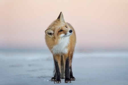 A Red Fox turns its head to the side as it stands on the beach in the soft dusk light with a pink sky background.