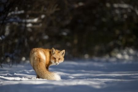 A Red Fox turns back to look at the camera in the snow on a sunny winter day.