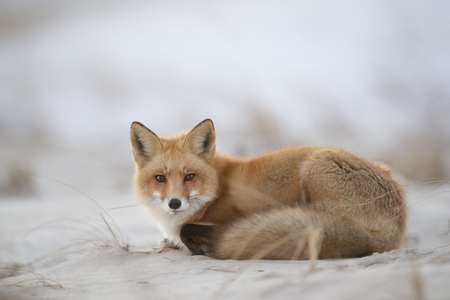 lays down: A Red Fox lays down on a sandy beach in the warm evening light.