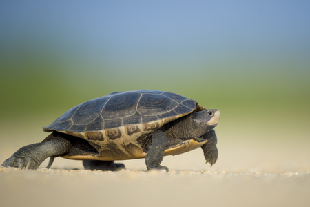 terrapin: A Diamond Back Terrapin walks across a dirt road on a sunny afternoon.