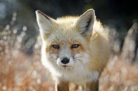 A curious Red Fox looks towards the camera on a bright sunny winter day.
