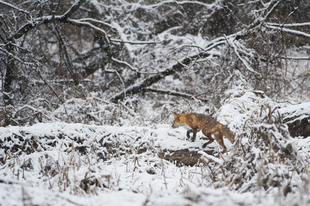 early spring snow: A Red Fox walks along a fallen tree in an early spring snow in Southern New Jersey.