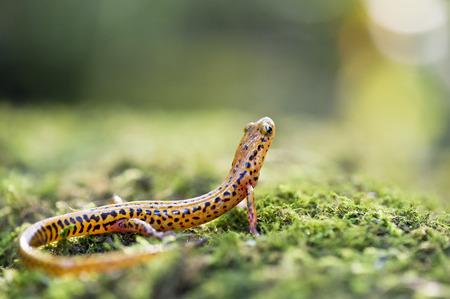 salamandra: Una salamandra de cola larga de color naranja y negro mira a su alrededor en musgo verde. Foto de archivo
