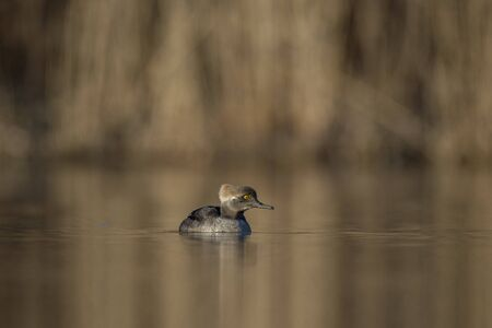 hooded: A Juvenile Male Hooded Merganser swims on a calm pond in front of a brown background.