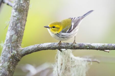 warblers: A Black-throated Green Warbler perched on a branch out in the open.