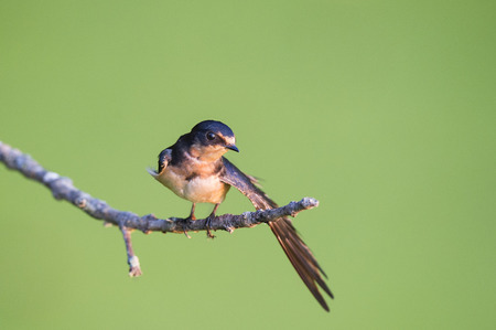 A Barn Swallow stretches out one of its wings just as the sun rises and lights up the bird in front of a smooth green background.