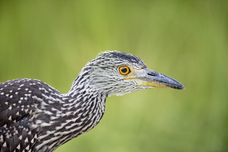 juvenile: A juvenile Yellow-crowned Night Heron stops in the shade in front of a bright green background.