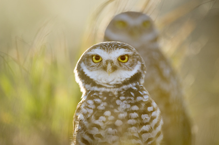burrowing: One Florida Burrowing Owl stands in front of another as the bright sun shines from behind the pair. The birds bright yellow eyes stand out. Stock Photo