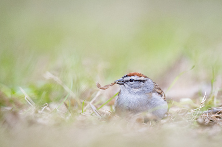 chipping: A Chipping Sparrow sits on the ground with a piece of brown leaf in its beak. Stock Photo