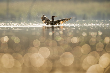 water wings: A Double-crested Cormorant flaps its wings dry as the early morning sun lights up the bird and small bubbles on the surface of the calm water.