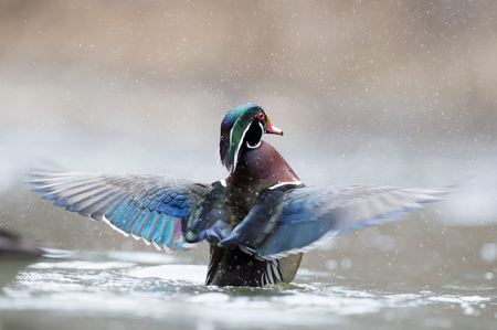 water wings: A male Wood Duck flaps his wings after a short preening session sending water drops flying everywhere.