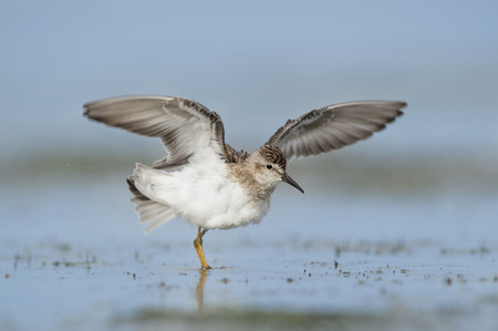 water wings: A cute little Least Sandpiper flaps its wings as it stands in the shallow water.