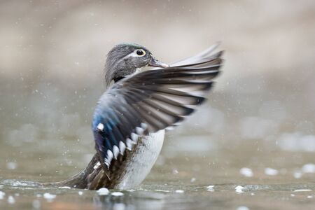 flaps: A female Wood Duck flaps her wings to dry off a bit Stock Photo