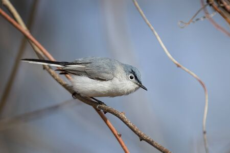 gnat: A Blue-gray Gnatcatcher perched on a small branch with a blue sky background.