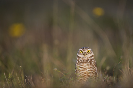 burrowing: A Florida Burrowing Owl stands in an open field with a couple of yellow flowers in the background.