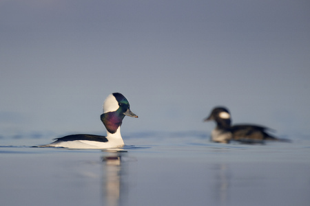 courtship: A drake Bufflehead swims along in front of a female as it performs some courtship displays on a calm morning.