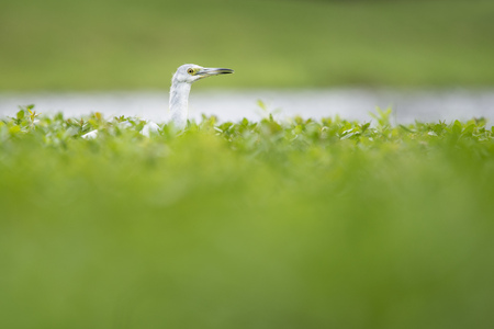 egrets: A juvenile Little Blue Heron stalks for prey in tall thick green vegetation so only its head and neck stick out. Stock Photo
