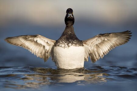 scaup: A Lesser Scaup duck flaps its wings trying to dry off as it sits on the water in the late evening sun. Stock Photo