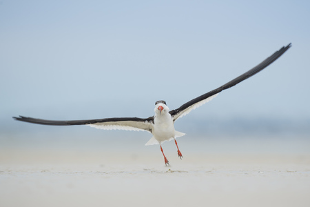 skimmer: A Black Skimmer takes off right towards the camera as its tiny feet just lift of the sandy beach.