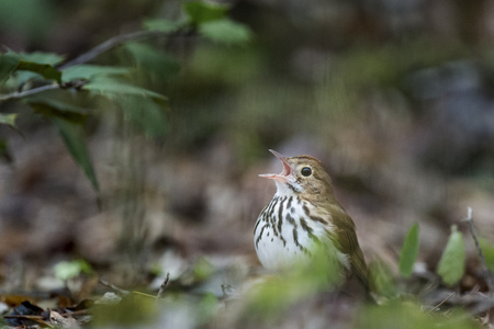 warblers: An Ovenbird sings loudly as it sits on the forest floor with some green leaves around it.