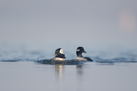 A pair of Bufflehead ducks quickly swim along pushing water in front of them. Stock Photo