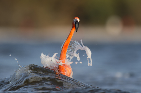 A bright pink American Flamingo is splashed by a wave as it walks through the shallow water.