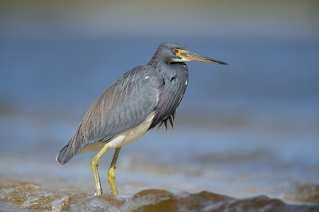 gray herons: A Tri-colored Heron stands in the shallow waves on a bright sunny day with blue water. Stock Photo