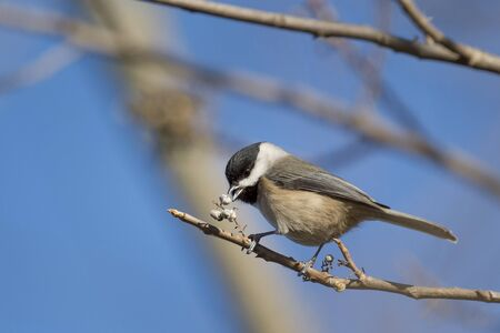 chickadee: A Carolina Chickadee searches for food while perched on a branch with a bright blue sky on a sunny day. Stock Photo