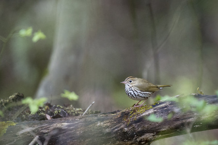 warblers: An Ovenbird perches on a log with some moss growing on it in the forest with soft overcast light.