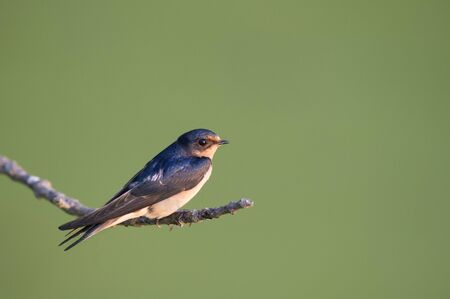 barn swallow: A Barn Swallow is perched on a small branch as the soft morning sun lights up the bird in front of a smooth green background.