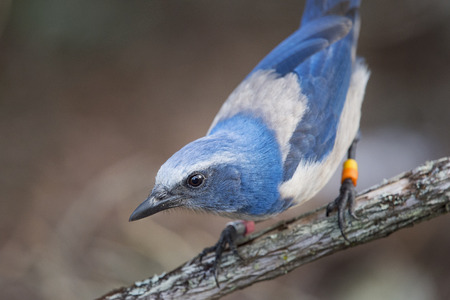 A close up of a curious Florida Scrub Jay perched on a branch.