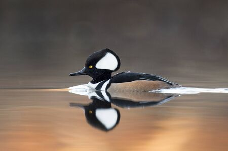 drake: A drake Hooded Merganser floats on the calm surface of the water with a clear reflection of the duck.