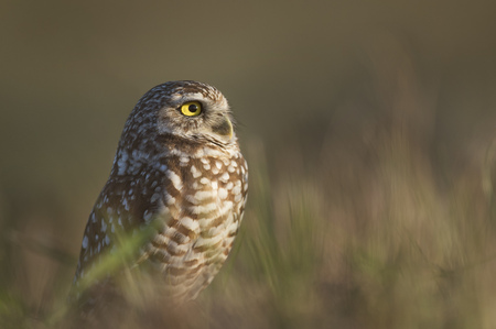 burrowing: A Florida Burrowing Owl stares off into the sun in an open field of brown grass.