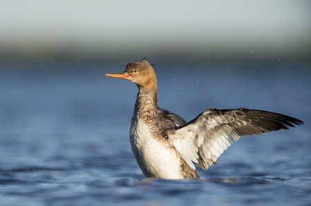 water wings: A female Red-breasted Merganser flaps its wings to dry off while swimming in the water.